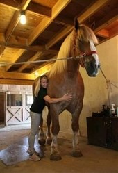 Big Jake - World's tallest horse
