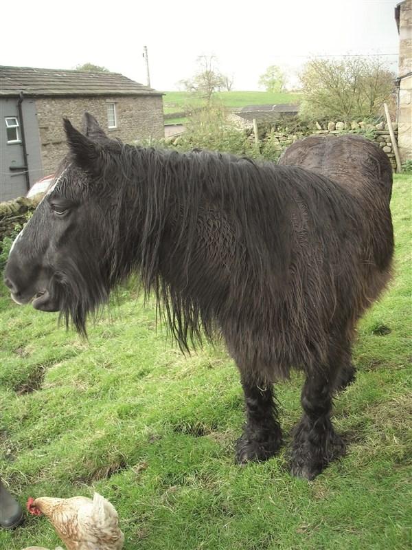 hest med krøllete pels