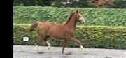 Horse for sale - HOLKJÆRS RONALDO