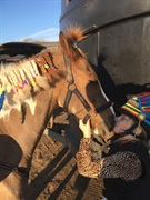 Horse for sale - STOLBERG'S INDY