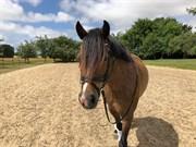 Horse for sale - LINDBERG (DEN) MISS TWILIGHT