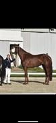 Horse for sale - NETSTUTTERIETS Z-FETTI