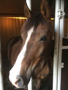 Horse for sale - IVONNE