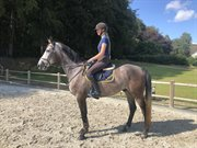 Horse for sale - CALIF ALFARVAD Z