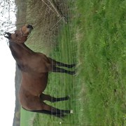 Horse for sale - LOMBARDI