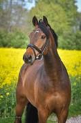 Horse for sale - STRANDGAARDS CHANNING