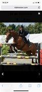 Horse for sale - CELIN 33
