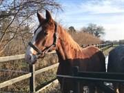 Hest til salg - JC CI CI BOY