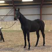 Horses for sale - Ridehesten com