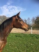 Horse for sale - PETRA VON PREUSSEN