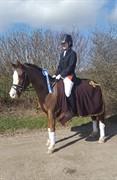 Horse for sale - HARVEST(DK) GRAND UPS A BOY