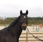 Hest til salg - SILVANA