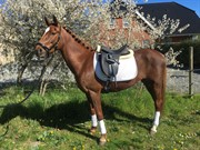 Horse for sale - CHATEAU