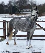 Hest til salg - HESTEGAARDENS LUIGI
