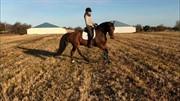 Hest til salg - LÖWES HACKMAN