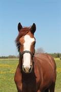 Hest til salg - LILLEVANGS UNIQUE SURVIVOR