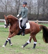 Horse for sale - BE-DANCER HØJGÅRD