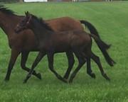 Horse for sale - HOLMENS ZALSA