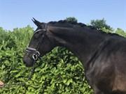 Horse for sale - VINETTA