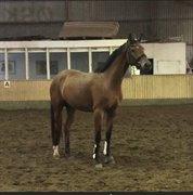 Horse for sale - Heiline vallak 3,5 år