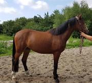 Horse for sale - AMMINION
