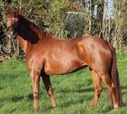 Hest til salg - KGS. HØRGAARD ZENOBIA
