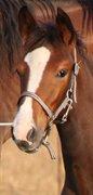 Hest til salg - NOLLUNDGAARDS ADRIANA