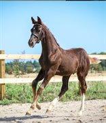 Hest til salg - GRANLY'S FRANK OCEAN