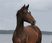 Horse for sale - ØSTERHEGNET'S AYRTON