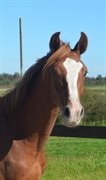 Horse for sale - TANHOLMS FAIRPLAY