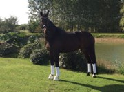 Horse for sale - SAMMY JO