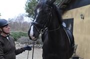 Hest til salg - HØJVANGS VITA