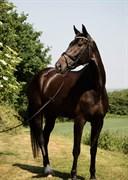 Horse for sale - SYVHØJEGÅRDS INEZ
