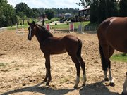 Horse for sale - Casavelle