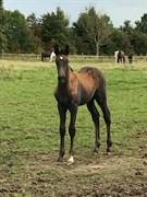 Hest til salg - BE READY AX