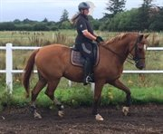 Horse for sale - SAMMY