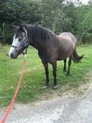 Horse for sale - FAKLA ALLIE (DNK)