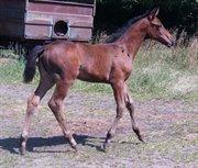 Horse for sale - SKOVGAARDENS MINERVA