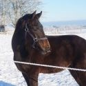 Horse for sale - HILL TOP AMARONE