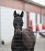 Hest til salg - MOSEBRUGETS FALCON