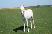 Hest til salg - FAGAN'S GOLDEN KASMIR