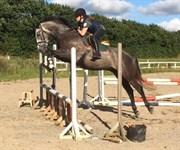 Hest til salg - Ternvig`s Companion