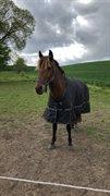 Hest til salg - ALBANI