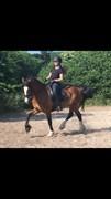 Horse for sale - NØRSKOVS PRINCE VALIANT