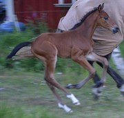 Horse for sale - Sambucus af Hagalund