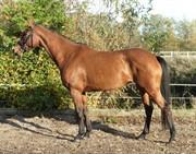 Horse for sale - KOLD'S PARI-JIVE