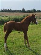 Hest til salg - Kirsebærgårdens Aperol Royal