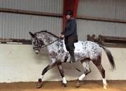 Hest til salg - Holbæks Thalullah