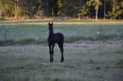Horse for sale - Sorbus af Hagalund