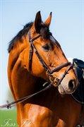 Horse for sale - LIKØR KILEN